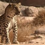 Al-Jazeera Witness – Saving the Leopard