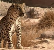 Al-Jazeera Witness – Saving the Leopard